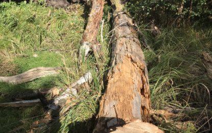 Farligt vejside træ