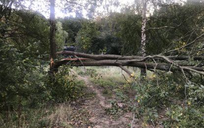 Farligt træ fældet